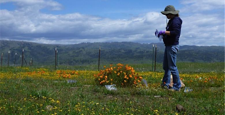 Amelia Wolf in the California field she used to study what effect diversity loss would have on the remaining plants.